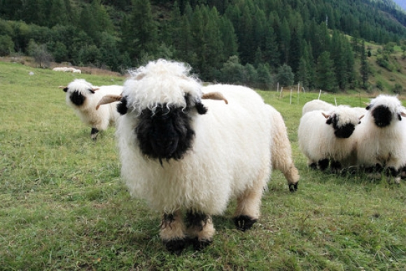 l-Swiss-Valais-Blacknose-Sheep