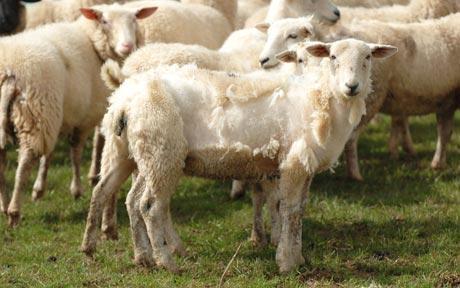 sheep_1612051c