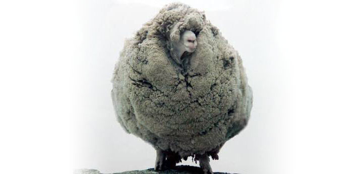 Shrek-woolliest-sheep copy